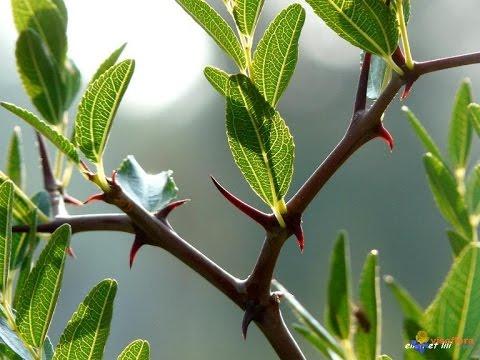 صور ما هو السدر , تعرف على معنى نبات السدر