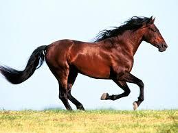 صورة خيول عربية اصيلة , اجمل خيول سباق