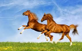 بالصور اجمل خيول في العالم , اجمل سباق للخيول 6194 3