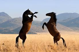 بالصور اجمل خيول في العالم , اجمل سباق للخيول 6194 8