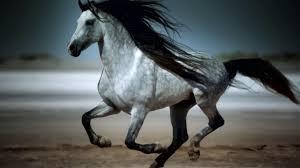 بالصور اجمل خيول في العالم , اجمل سباق للخيول 6194 9