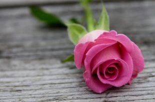 صورة صور اجمل ورد , بالصور افضل الزهور