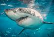 بالصور صور سمك القرش , صور انواع اسماك القرش 5291 2 110x75