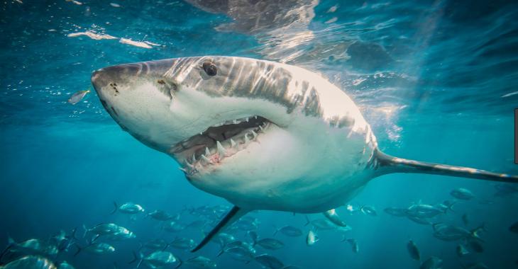 صورة صور سمك القرش , صور انواع اسماك القرش