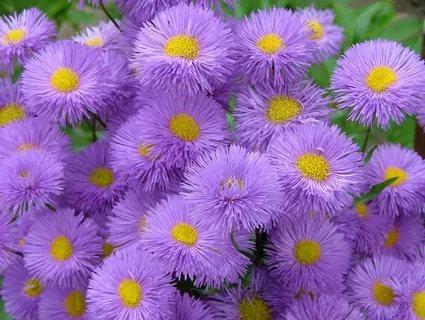 صورة باقات زهور , اجمل باقة لزهرة البنفسج