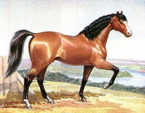 صورة حصان عربي , اجمل صور للخيل العربية