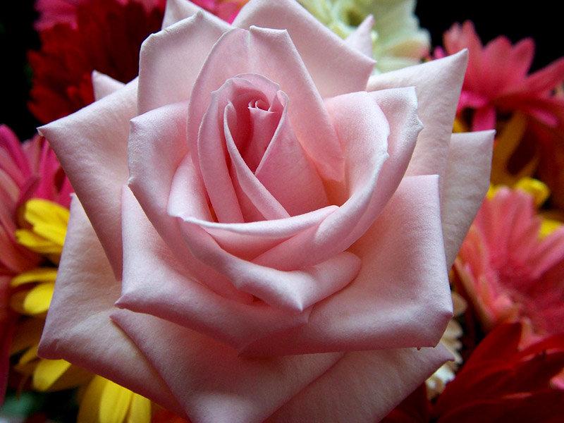 بالصور صور اجمل الورود , ورود برونق خاص 1020 9