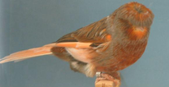 بالصور اجمل كناري في العالم , احلى طائر كناريه 1297 1
