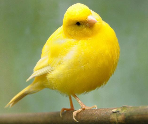 بالصور اجمل كناري في العالم , احلى طائر كناريه 1297 10