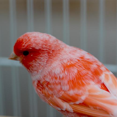 بالصور اجمل كناري في العالم , احلى طائر كناريه 1297 11