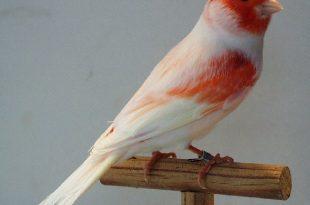 صورة اجمل كناري في العالم , احلى طائر كناريه