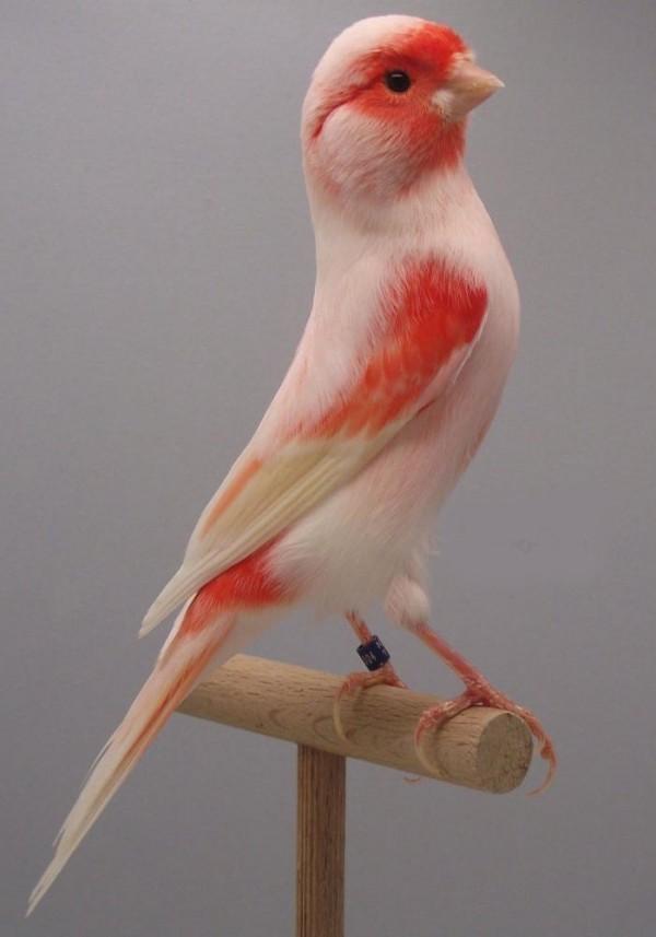 بالصور اجمل كناري في العالم , احلى طائر كناريه 1297 2