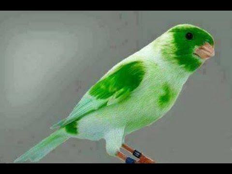 بالصور اجمل كناري في العالم , احلى طائر كناريه 1297 3