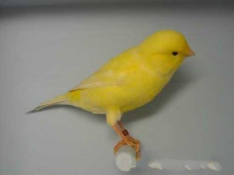 بالصور اجمل كناري في العالم , احلى طائر كناريه 1297 4
