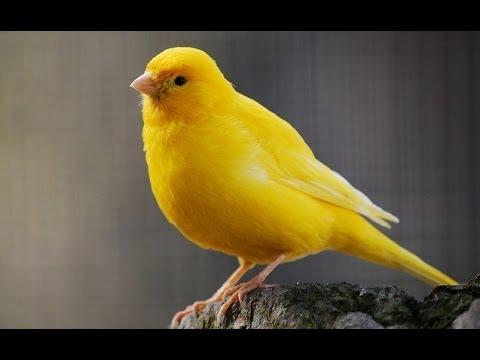 بالصور اجمل كناري في العالم , احلى طائر كناريه 1297 5