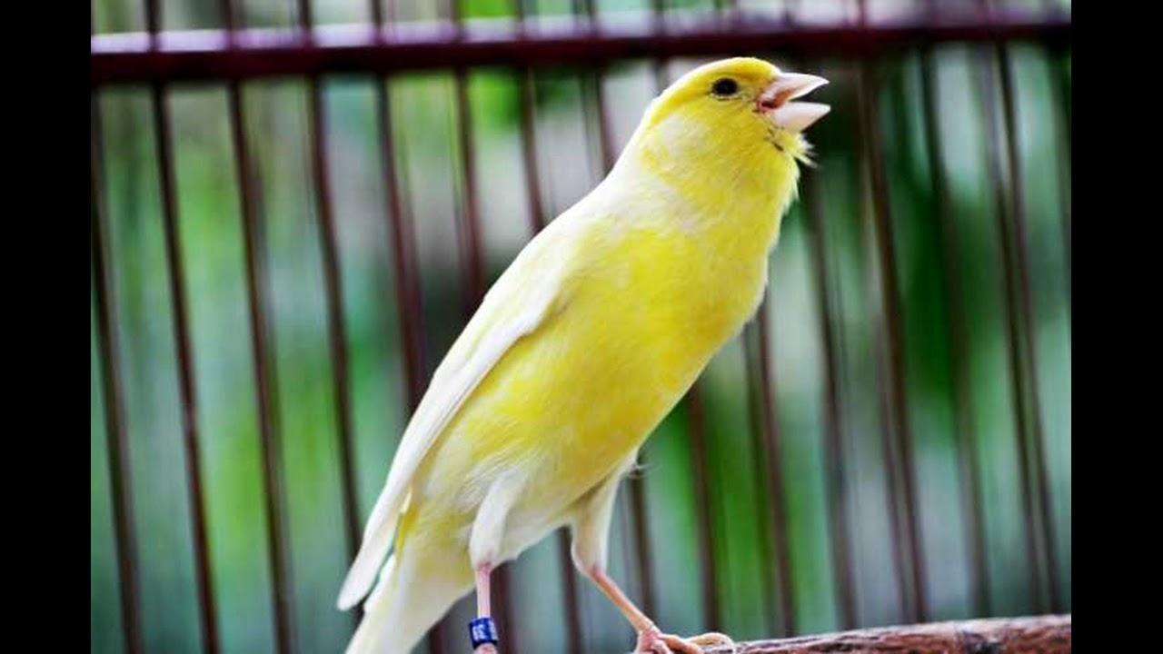 بالصور اجمل كناري في العالم , احلى طائر كناريه 1297 6