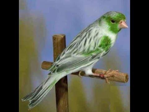 بالصور اجمل كناري في العالم , احلى طائر كناريه 1297 7