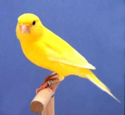 بالصور اجمل كناري في العالم , احلى طائر كناريه 1297 8