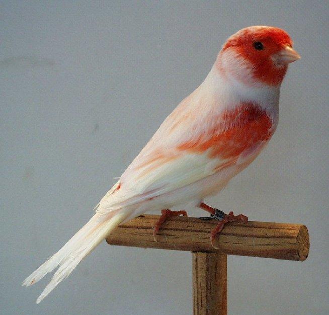 بالصور اجمل كناري في العالم , احلى طائر كناريه 1297
