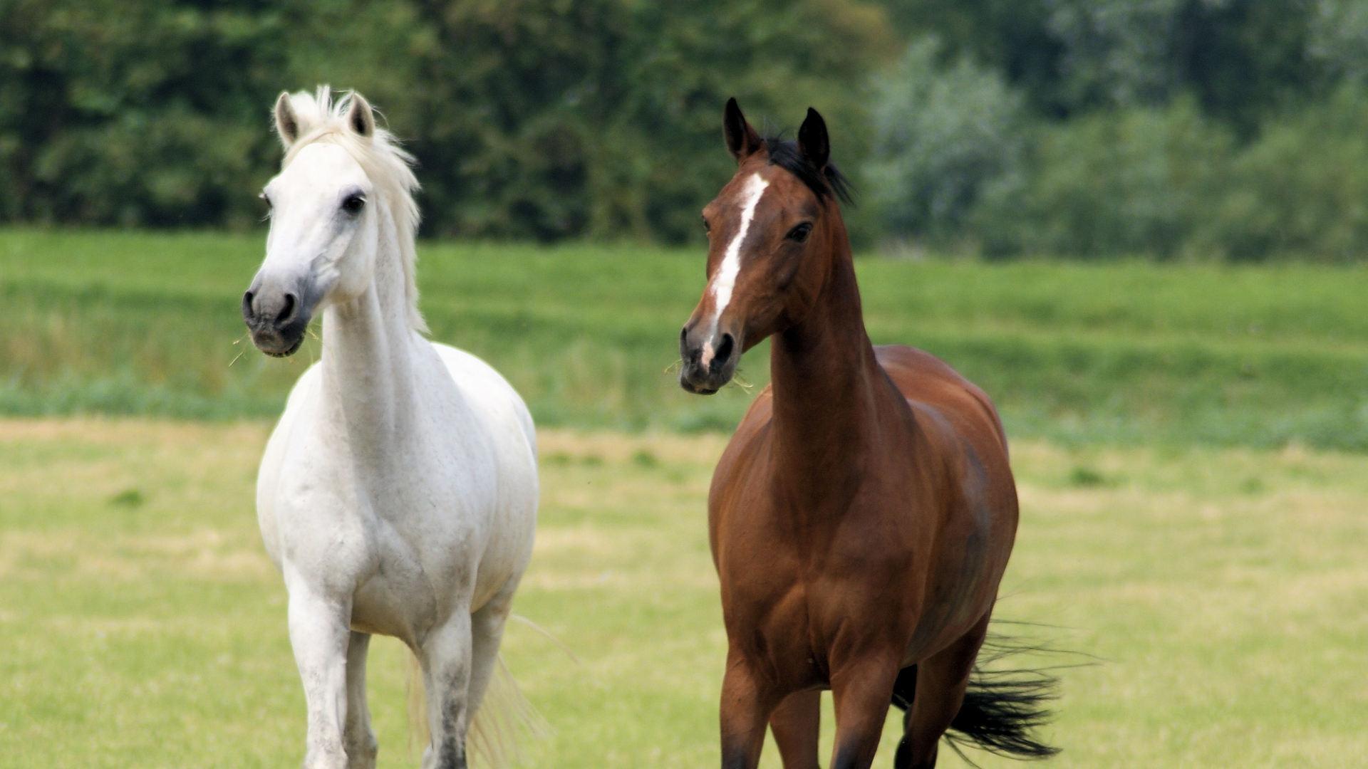 صوره زمن الخيول البيضاء , فرس ابيض عربي