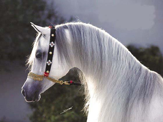 بالصور زمن الخيول البيضاء , فرس ابيض عربي 1442 11