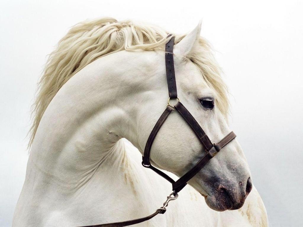 بالصور زمن الخيول البيضاء , فرس ابيض عربي 1442 12