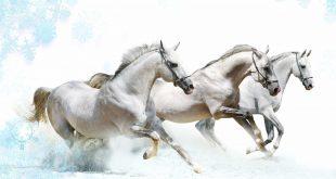 صور زمن الخيول البيضاء , فرس ابيض عربي