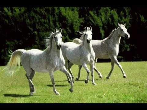 بالصور زمن الخيول البيضاء , فرس ابيض عربي 1442 2