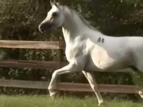 بالصور زمن الخيول البيضاء , فرس ابيض عربي 1442 3