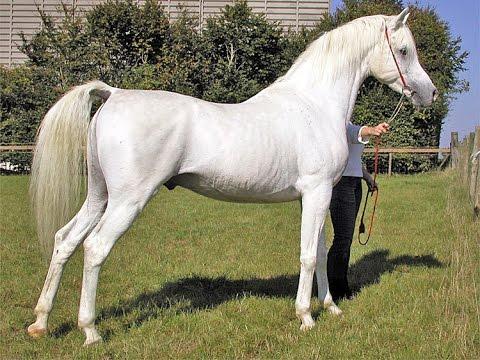 بالصور زمن الخيول البيضاء , فرس ابيض عربي 1442 4