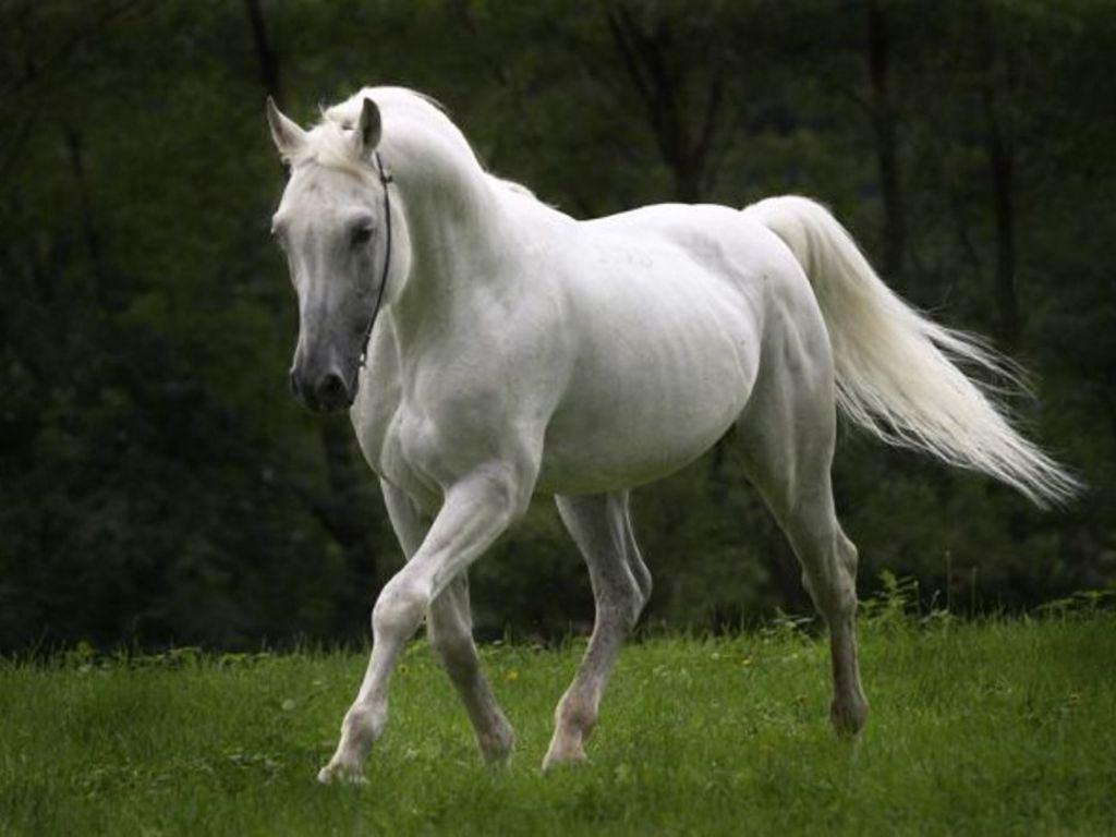 بالصور زمن الخيول البيضاء , فرس ابيض عربي 1442 5