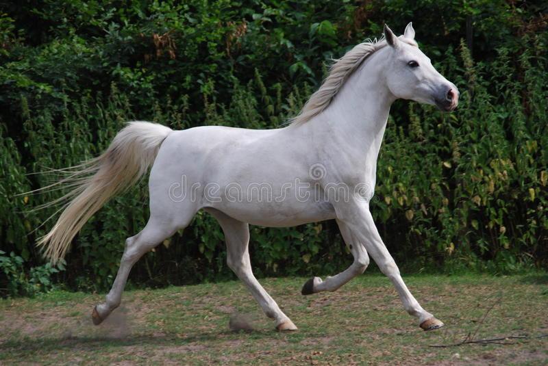 بالصور زمن الخيول البيضاء , فرس ابيض عربي 1442 6