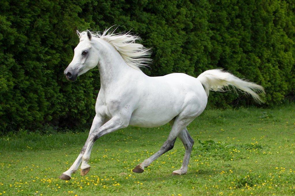 بالصور زمن الخيول البيضاء , فرس ابيض عربي 1442 7
