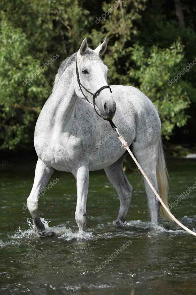 بالصور زمن الخيول البيضاء , فرس ابيض عربي 1442 8