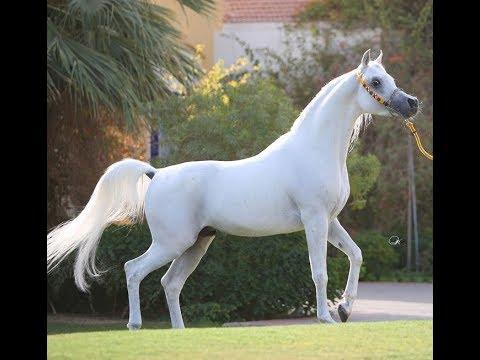 بالصور زمن الخيول البيضاء , فرس ابيض عربي 1442 9