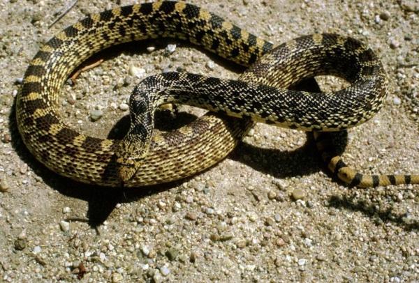 بالصور انواع الثعابين , جميع انواع الثعابين 1647 1