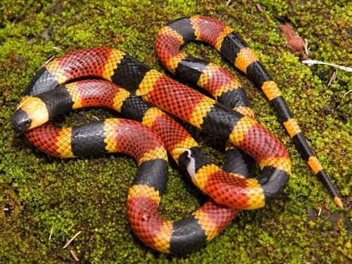 بالصور انواع الثعابين , جميع انواع الثعابين 1647 2