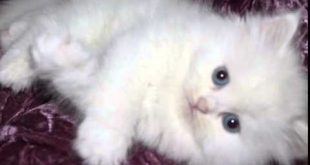 صورة صور قطط شيرازي , صور قطط شيرازي كيوتة