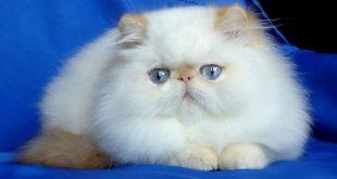 صوره قطط هملايا , صور رائعة لقطط الهملايا