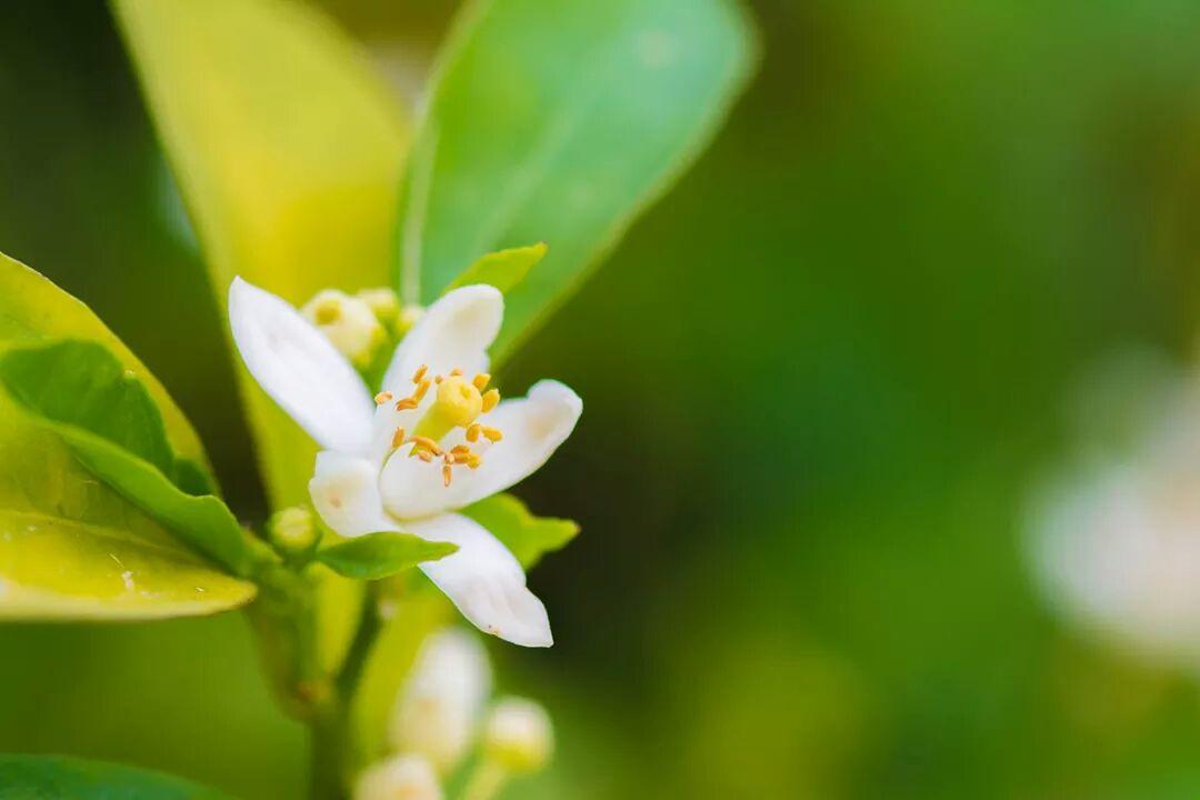 صورة زهر الليمون , فوائد زهر الليمون