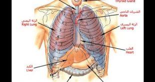 صور جسم الانسان بالصور , تركيب جسم الانسان