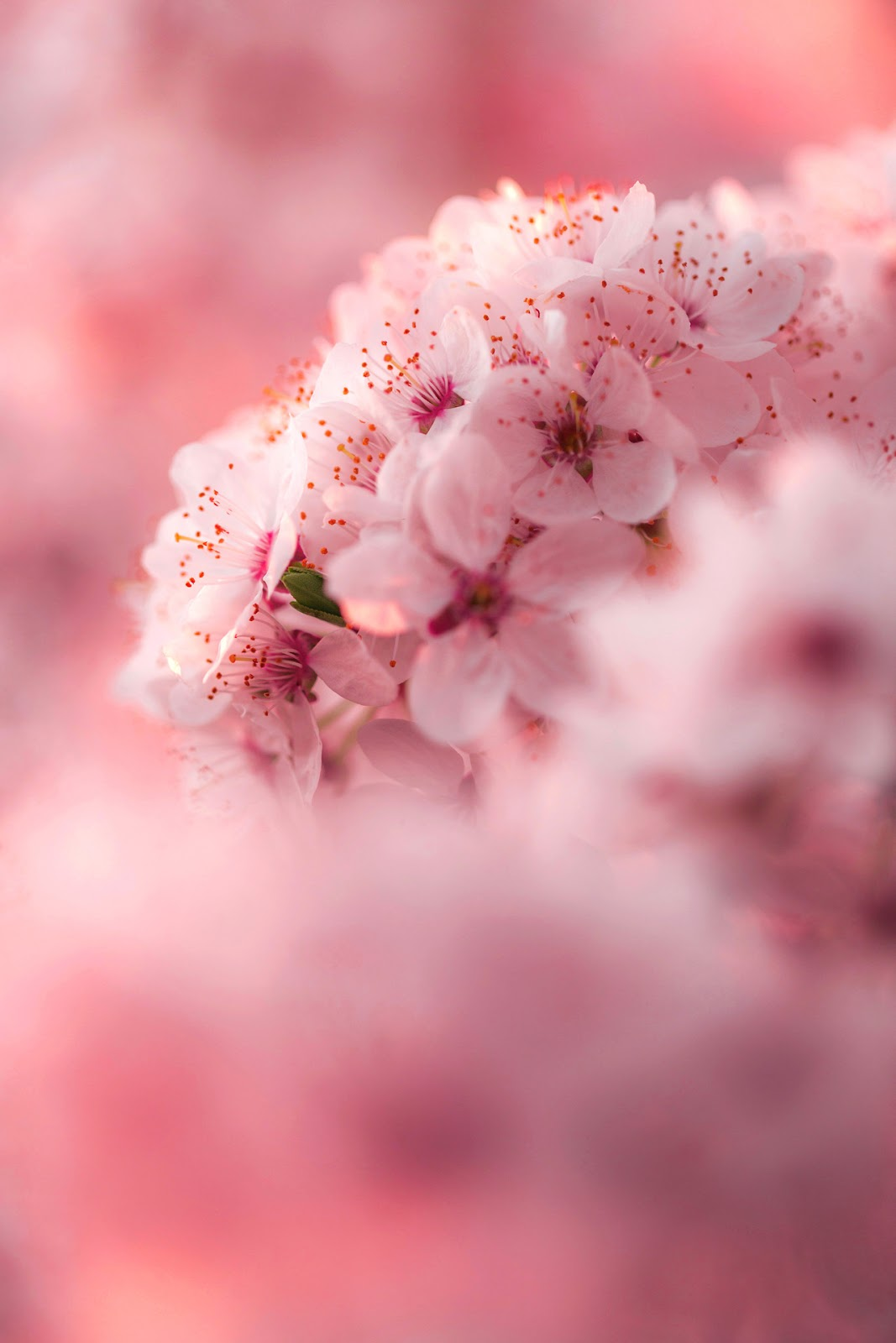Light Pink Floral Wallpaper
