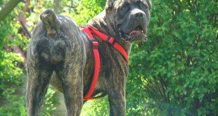 صور اخطر انواع الكلاب , اشرس الكلاب على وجة الارض