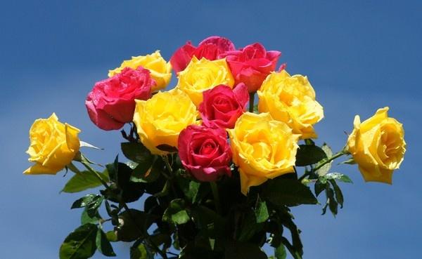 بالصور اجمل ورود العالم , اشكال الورود الجميلة فى الكون 2686 10