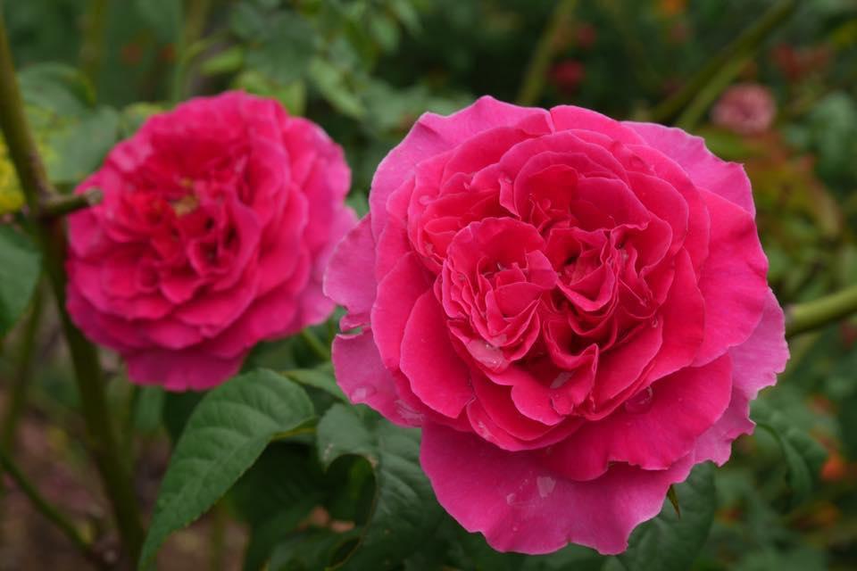 بالصور اجمل ورود العالم , اشكال الورود الجميلة فى الكون 2686 12