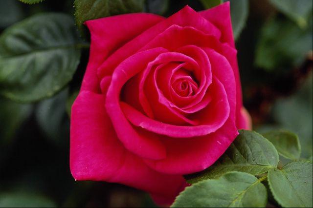بالصور اجمل ورود العالم , اشكال الورود الجميلة فى الكون 2686 13