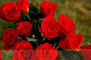 بالصور اجمل ورود العالم , اشكال الورود الجميلة فى الكون 2686 14 310x205