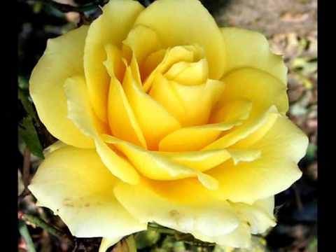 بالصور اجمل ورود العالم , اشكال الورود الجميلة فى الكون 2686 2