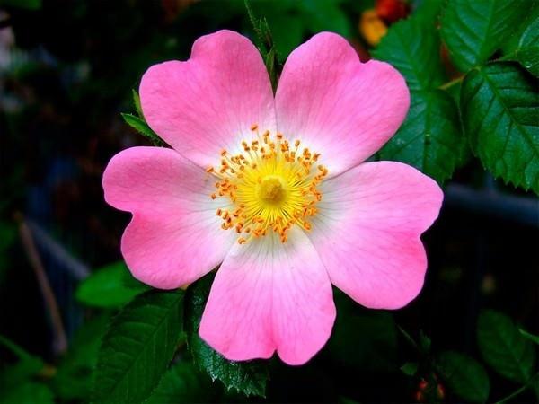 بالصور اجمل ورود العالم , اشكال الورود الجميلة فى الكون 2686 4
