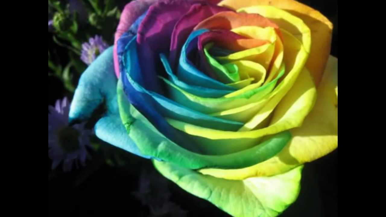 بالصور اجمل ورود العالم , اشكال الورود الجميلة فى الكون 2686 8